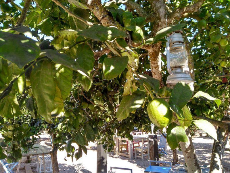Limonero, jardín Es Caliu