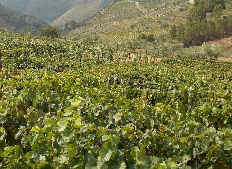 Uvas en el valle del douro